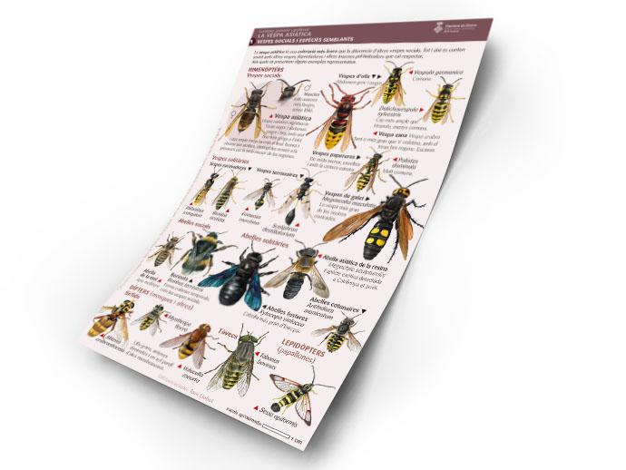 Làmines divulgatives sobre la vespa asiàtica