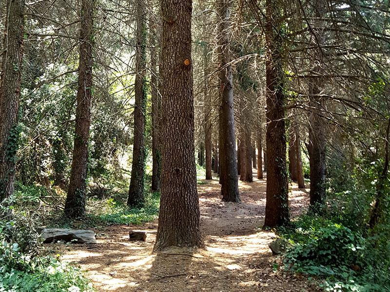 Foto 2 : <p>Nou itinerari forestal, pel <em>silvetum</em> de Fontmartina, al Parc Natural del Montseny</p>