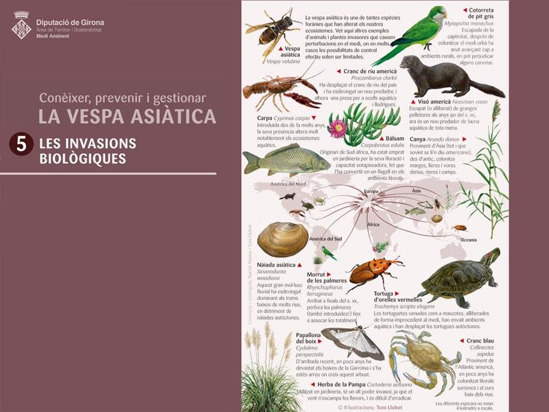 Foto : <p>Les espècies exòtiques invasores, a la cinquena làmina sobre la vespa asiàtica</p>